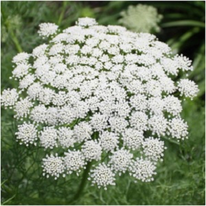Queen Annes Lace Flower Seeds from Lilianas Garden
