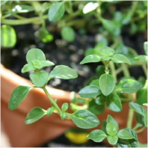 The Knights Herb: Thyme Magical Properties and Uses
