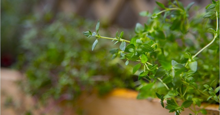 The Knight's Herb: Thyme Magical Properties and Uses — Magical Herbs