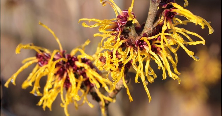 The Winter's Bloom: Witch Hazel Magical Properties and Uses — Magical Herbs