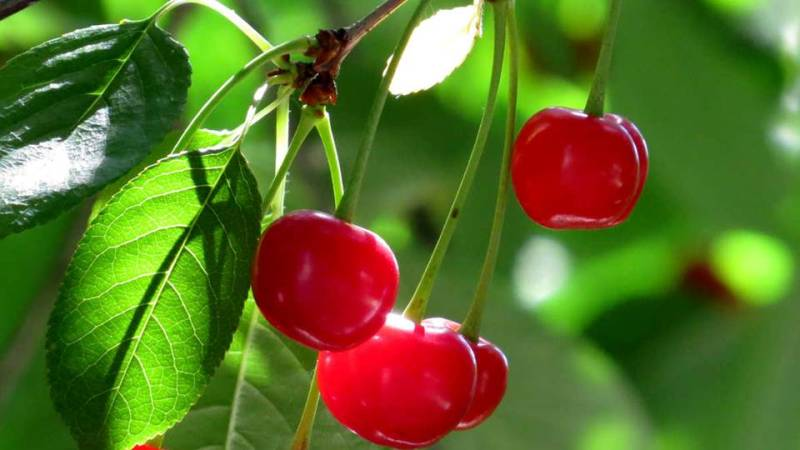 Cherries are associated with Venus, the Love Goddess, and draw on her energy. -- Cherry Magical Properties and Uses