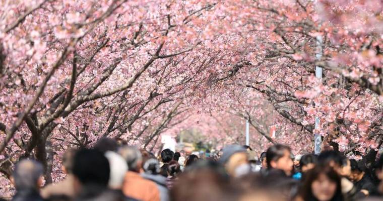 Celebrating Cherry Blossoms: Cherry Blossom Locations and Festivals Around the World
