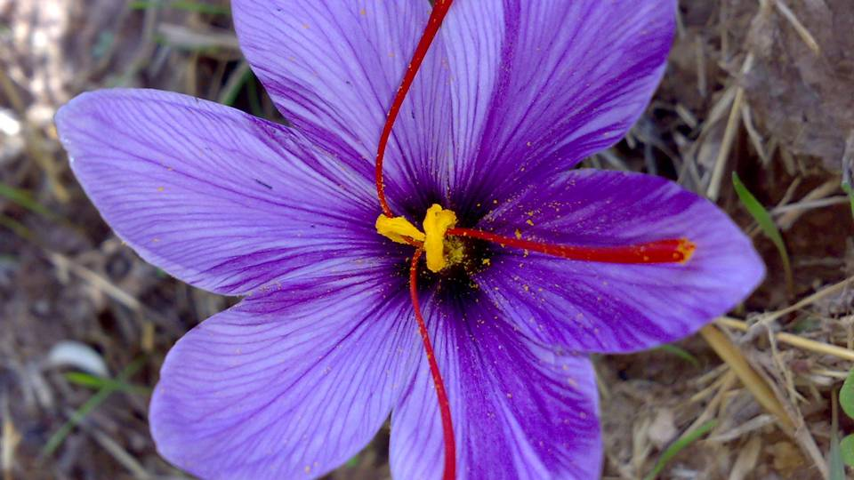 In Persia, women would wear a ball made of saffron at the base of their stomach during pregnancy to help with a speedy delivery.  Saffron is closely connected to the moon cycles and as such women's menstrual cycle.  -- Saffron Magical Properties and Uses