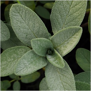 Garden Sage - Sage Magical Properties and Uses - Elune Blue (300x300)
