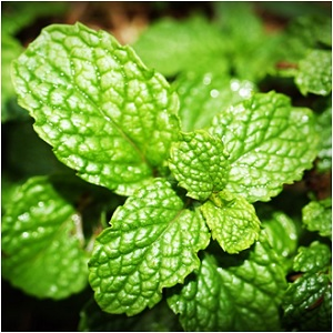 The Panacea: Mint Magical Properties and Uses -- Magical Herbs