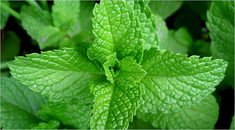 Mint Leaves - Mint Magical Properties and Uses - Elune Blue (800x445)