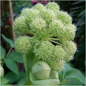 Angelica can be grown near the home to provide protection. Use it in purification baths to cleanse negative energy. Smoking angelica leaves is said to cause visions. -- Angelica Magical Properties and Uses #Herbs for Imbolc