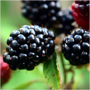 Blackberry is associated with Brigit, the Celtic goddess of poetry and healing who is honored on Imbolc. Blackberry is a powerful healing plant, and it is believed that passing under a blackberry bramble bush that forms a natural arch can heal all sorts of maladies. -- Blackberry Magical Properties and Uses   Herbs for Imbolc