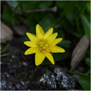 Celandine's power is to break chains. It can free the mind of depressive mindsets and its protective power visits in the courtroom, providing an avenue by which judge and jury may be inspired to change their minds and grant a more favorable judgment. -- Celandine Magical Properties and Uses | Herbs for Imbolc