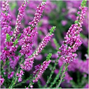 Heather can be burned with fern outside to attract the rains that will allow Spring flowers to grow. Its ethereal beauty seems to call beyond the veil and has been used to conjure ghosts. White heather is particularly lucky, and can double as an added protection against rape and violence. -- Heather Magical Properties and Uses #Imbolc