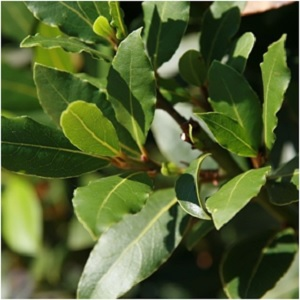Imbolc is a time of purification, and Bay Laurel is a purification herb par excellence. Burn a bay laurel smudge or scatter bay laurel leaves around the home to banish negative energies. -- Bay Laurel Magical Properties and Uses #Imbolc