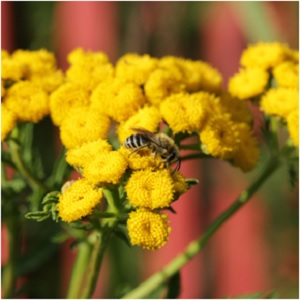 Tansy was gifted to Ganymede to make him undying, thus it is often included in spells and rituals for longevity. It has had a myriad of funerary uses, from packed into coffins with the dead tobiscuits of tansy and caraway served to those mourning the departed. Ants particularly do not like tansy, however bees have been known to be calmed by its smoke. -- Tansy Magical Properties and Uses #Imbolc