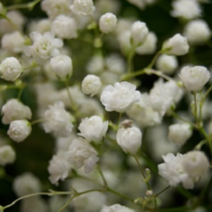A close up of white baby's breath flowers. • The Meaning of Baby's Breath Flowers