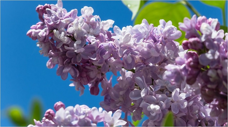 Lilac's compelling scent can will away dark energies, attract romance, and stimulate the mind to new epiphanies -- Lilac Magical Properties and Uses