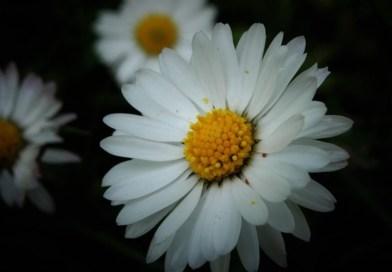Daisy Flower Symbolism and Meaning | Daisies seem to evoke a certain innocent, child-like energy and vibrancy. They are a Harbinger of Spring.