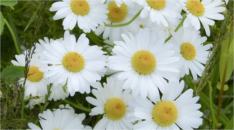 Being a perennial, Marguerite daisies will bloom year after year. They are also known as the Paris daisy, and in fact, the French word for daisy is marguerite. | Caring for Daisies