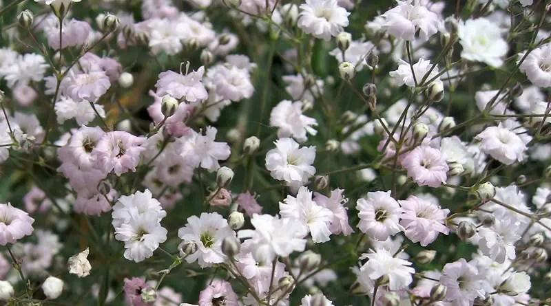 Pale Pink Baby's Breath Flower.
