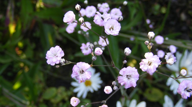 Pink Baby's Breath and Daisies.