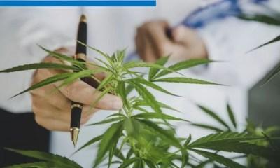 marihuana Canabis 001A