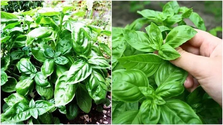 20 Inteligente maneras de utilizar hojas de albahaca que va más allá de Pesto