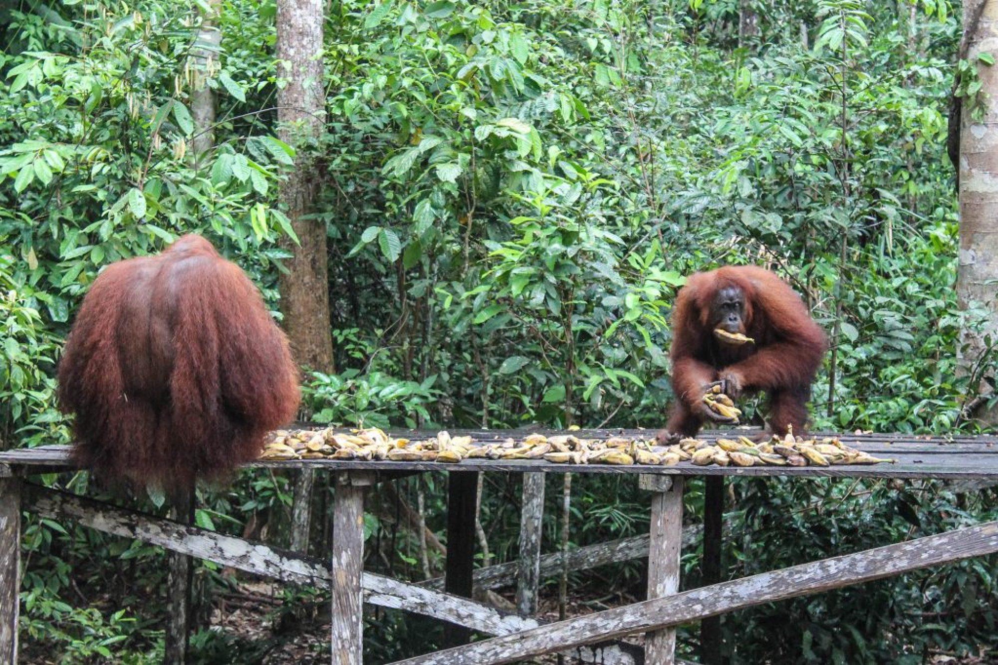 orangutanes-en-borneo-7