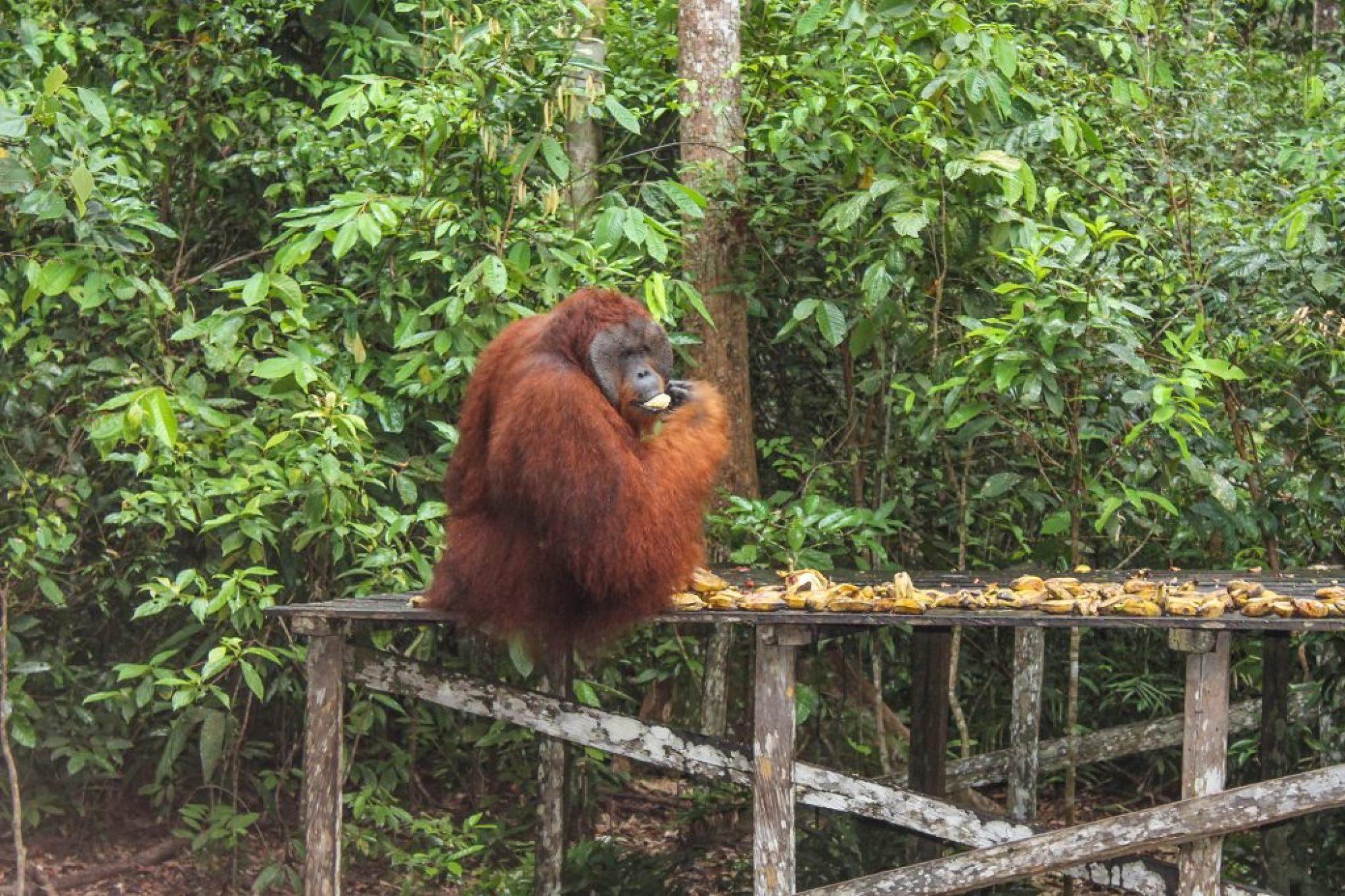 orangutanes-en-borneo-8