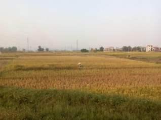 Recogiendo arroz en Vietnam