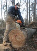 chainsawing round out of fallen oak