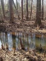 bald cypress swamp and Battle Creek
