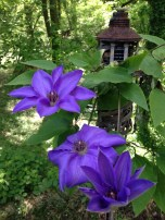 mom's clematis