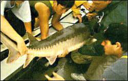 Researchers study the threatened Atlantic sturgeon, at risk because of pollution, dam-building and flood controls. Photo: M.B. Bain