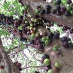 Jabuticaba blog Emagrecer Certo