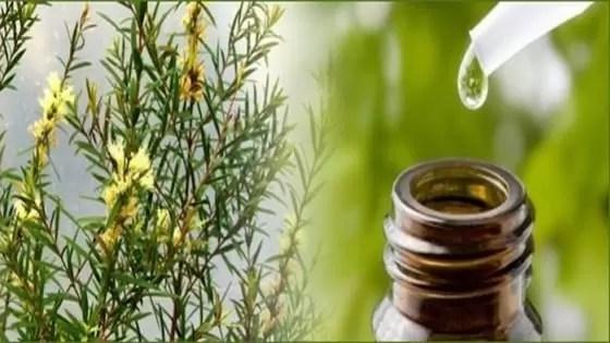 remédios anti-gengivite com óleo de melaleuca ou melaleuca </h5> <figure id=