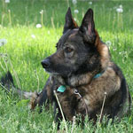 German shepherd Odysseus laying in field of dandelions