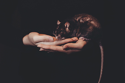 hands holding pet rat