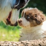A Guide To Australian Shepherds Embarkvet