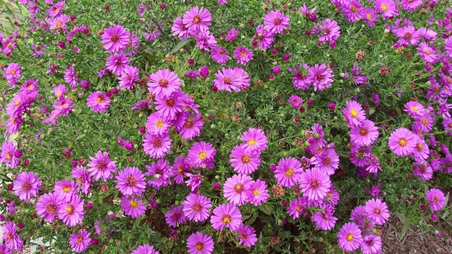 Wood s Pink Aster   American Meadows Video Thumbnail