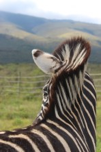Johnny the zebra came running when he heard Von Lengeling's call. He allowed us to pet him briefly and then galloped around excitedly, doing his best to kick the Jack Russel that was prancing around his feet. Photo: Sarah Beningfield. Taken 10 July 2015.