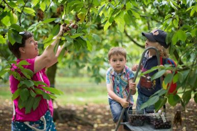 Me, Beanie Boy and Sammy picking cherries