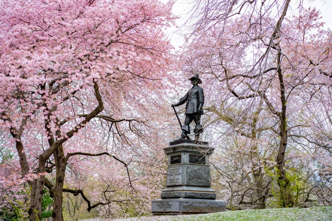 Pilgrim Hill cherry blossoms NYC