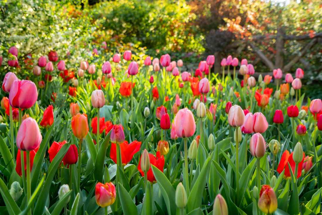 CENTRAL PARK best spots for tulips