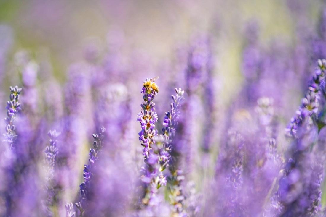 bee in lavender bee at lavender field