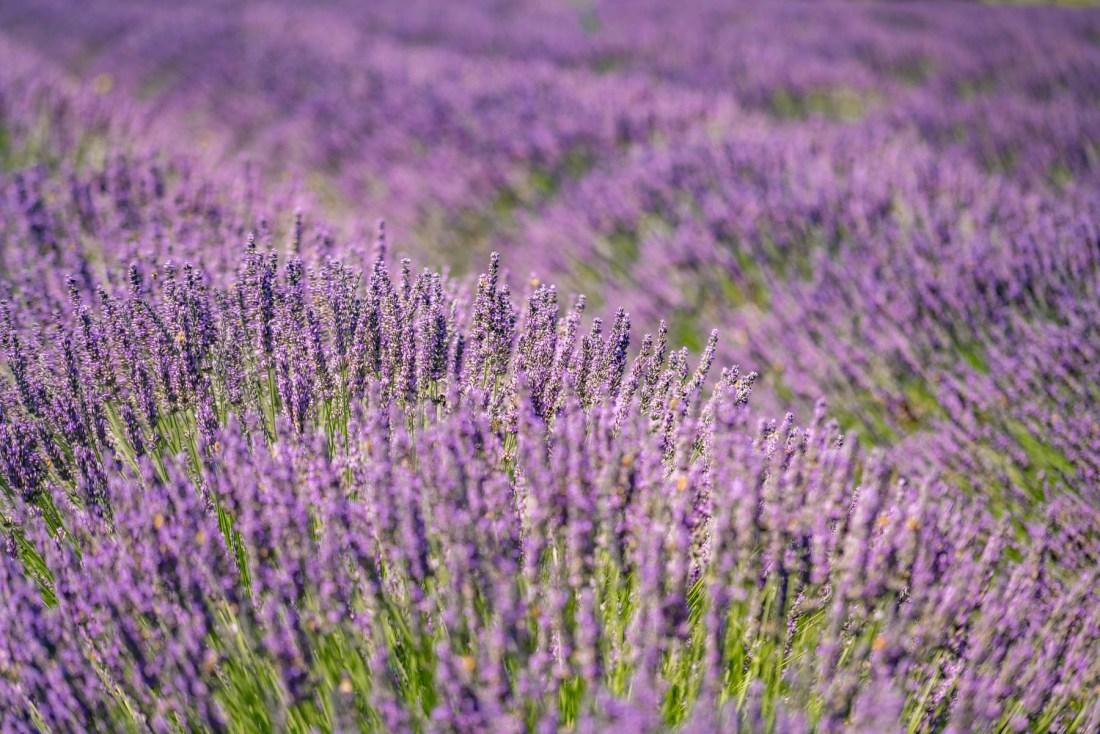 lavender fields in Oregon