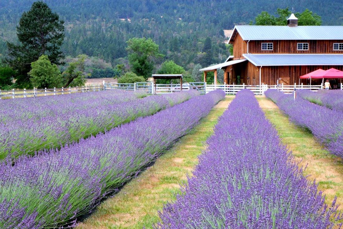 best lavender fields in Oregon
