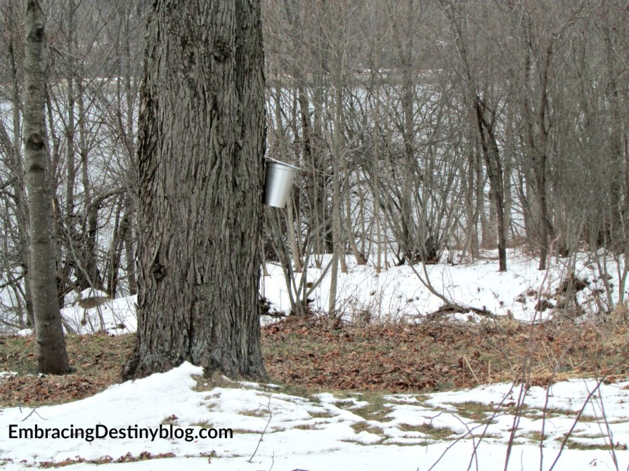 Diy maple sugaring