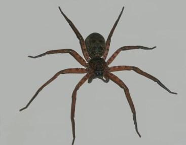 spider-alt