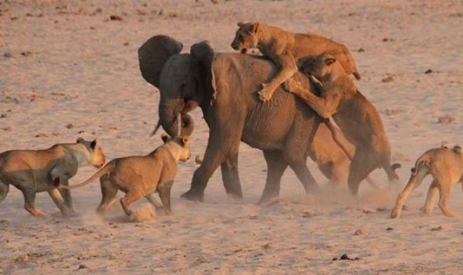 elephant-lions-battle-534762 (1)