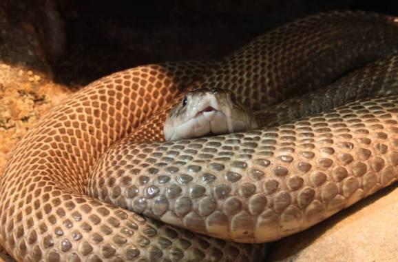 Naja-naja-kobra