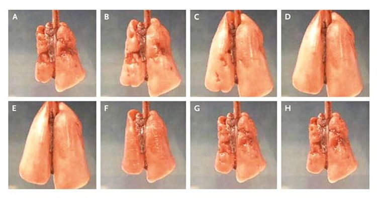 rat-lung