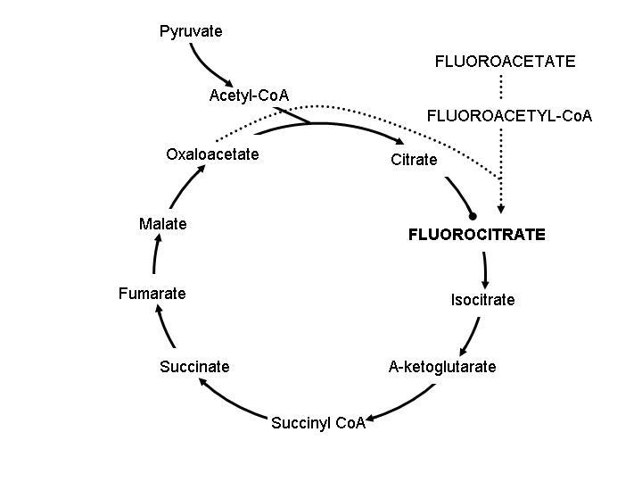 Figure 1 - Krebs cycle demonstrating the region of inhibition by fluoroacetate.
